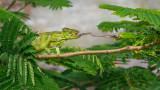 Wildlife - Madagaskar - Isalo - Oustalet's chameleon