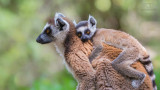 Wildlife - Madagaskar - Isalo - Ring-tailed lemur met baby