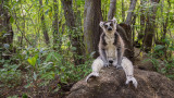 Wildlife - Madagaskar - Anja - Ring-tailed lemur