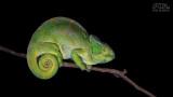 Wildlife - Madagaskar - Andasibe - Parson's chameleon