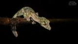 Wildlife - Madagaskar - Andasibe - Mossy leaf-tailed gecko