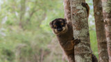Wildlife - Madagaskar - Andasibe - Brown lemur