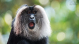 Wildlife - India - Valparai - Lion-tailed macaque