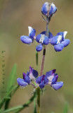 Miniature Lupine (Lupinus bicolor)