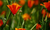 California Poppies_dof shallow.jpg