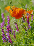 Bird Vetch & a Calif. Poppy