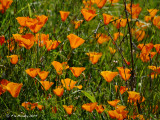 Field of Califonia Poppies