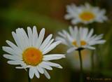 Leading Daisy