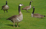 ?Greater White-fronted Goose? Canada Geese