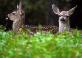 Black-tailed Deer Fawns (Odocoileus hemionus)