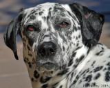 Pennine - Dalmatian