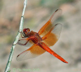 Flame Skimmer Dragonfly - male