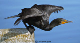 Cormorant - Free to Take Off