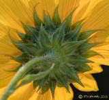 Behind the Sunflower