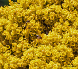Yellow Yarrow with Ants