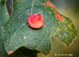 Red Cone Gall Wasp