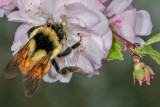 Apple Blossom Pollinator