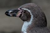 Male Humboldt Penguin