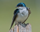 Tree Swallow With Brood Patch