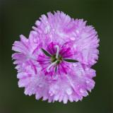 Purple Carnation On Green