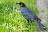 Immature Grackle