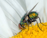 Green & Gold Bottle Fly