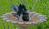 Young Magpie Bathing