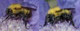Dew Bee Dew Bee Dew