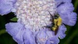 Dew Bee On Scabiosa