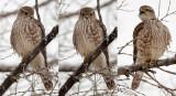 Merlin's Falcon Triptych