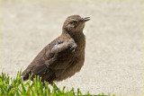 Baby Grackle - Begging Moma to be fed
