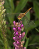 Dragon Fly On Gayflower