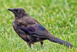 Colorful Juvenile Grackle