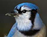 Bluej Jay In Profile