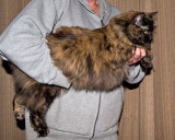 2 Year Old Blossom, Tortise Shell, Maine Coon Cat