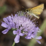 Skipper on Scabiosa