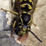 Wasp Up Close