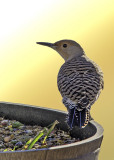Northern Flicker (2)