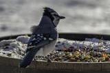 December Blue Jay