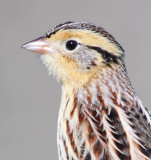 Le Conte's Sparrow, Point Reyes, December 2014