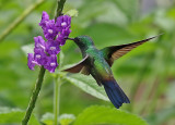 Blue-tailed Hummingbird