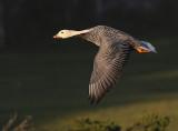 Emperor Goose, Pacifica, January 2017