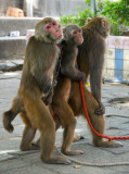Performing Monkeys