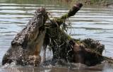 crocodile with cow