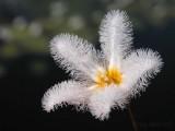 white fringe lily