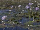 nympheae lilies