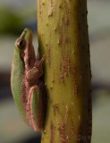 Dwarf green tree frog on lotus stem