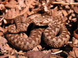 European Adders