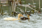 Ducks, unknown