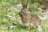 Rabbitt with nesting stuff